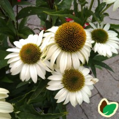 Echinacea purpurea SunSeekers White- Purpursolhat