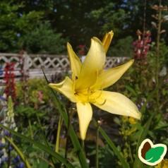 Hemerocallis citrina / Daglilje