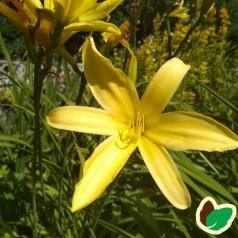 Hemerocallis hybrid Vespers / Daglilje