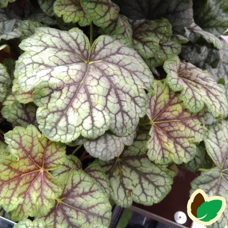 Heuchera hybrid Green Spice / Alunrod