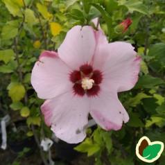 Hibiscus syriacus Aphrodite - Syrisk Rose