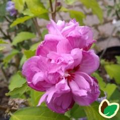 Hibiscus syriacus Ardens / Syrisk Rose