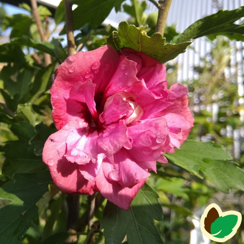 Hibiscus syriacus Duc de Brabant / Syrisk Rose