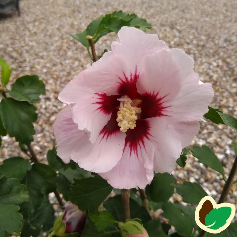Hibiscus syriacus Helene /Syrisk Rose