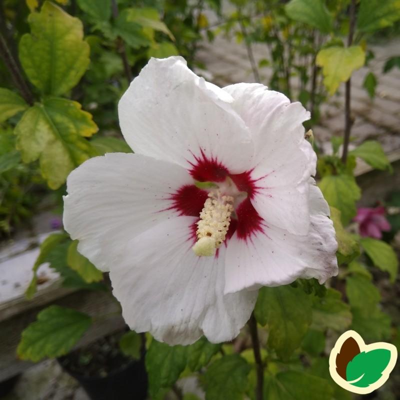 Hibiscus syriacus Monstrosus / Syrisk Rose