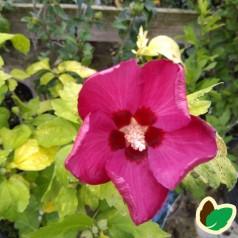 Hibiscus syriacus Woodbridge / Syrisk Rose