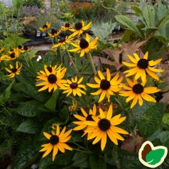 Rudbeckia hybrid Little Gold Star - Solhat