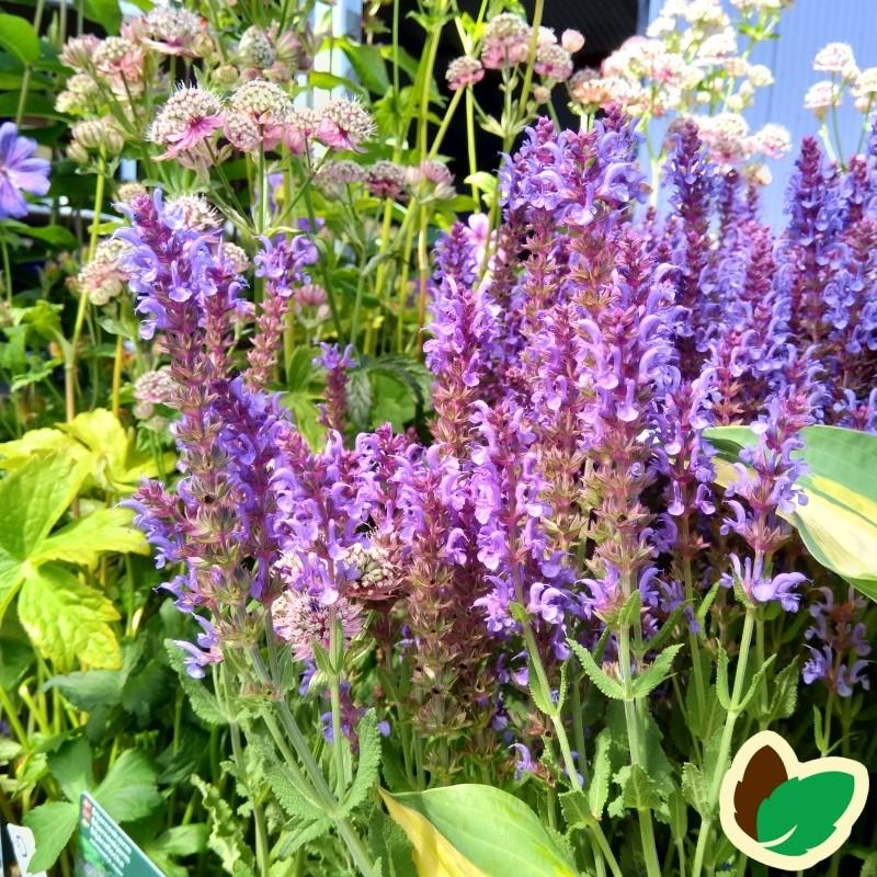 Salvia nemorosa Blauhügel / Salvie