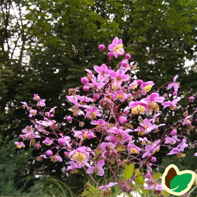 Thalictrum rochebrunianum / Frøstjerne