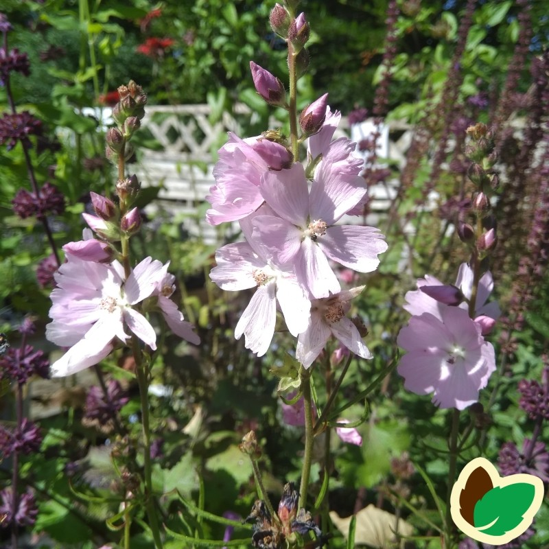 Sidalcea hybrid Elsie Heugh / Silkekatost