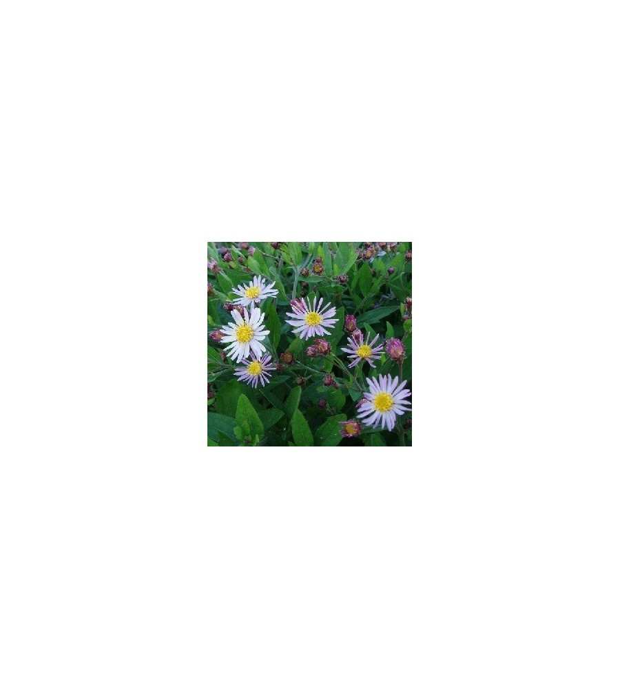 Aster ageratoides Asran / Asters