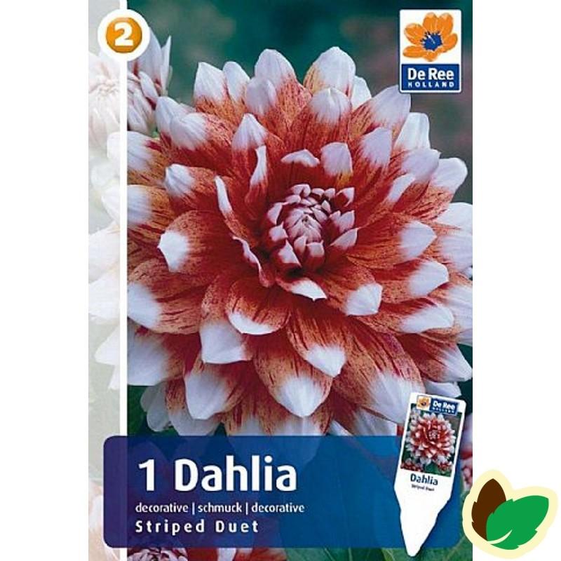 Dahlia Decorative Striped Duet / Georgin