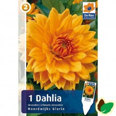 Dahlia Decorative Noordwijks Glorie / Georgin