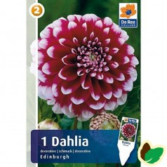 Dahlia Decorative Edinburgh / Georgin