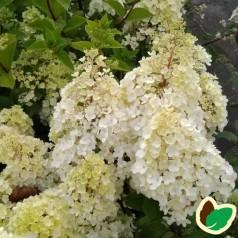Hydrangea paniculata Sundae Fraise / Syrenhortensia
