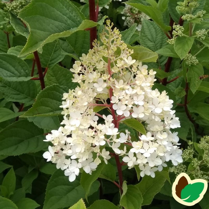 Hydrangea paniculata Wims Red / Træagtig Hortensia