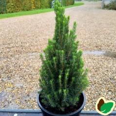 Picea glauca Laurin - Mini Sukkertop