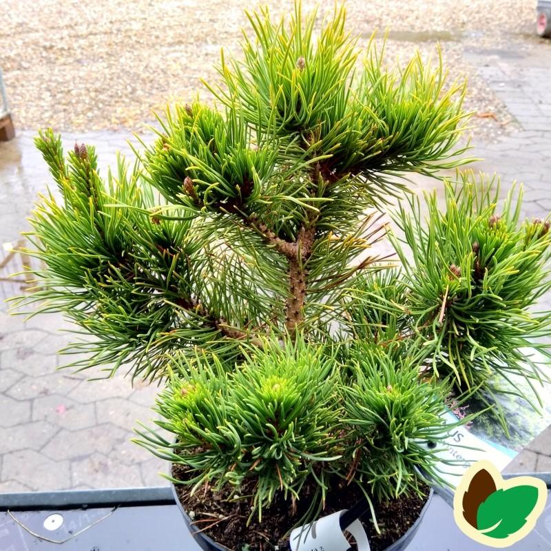 Dværgfyr Gul nålet - Pinus mugo Carstens Wintergold