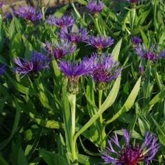 Centaurea montana Grandiflora / Knopurt