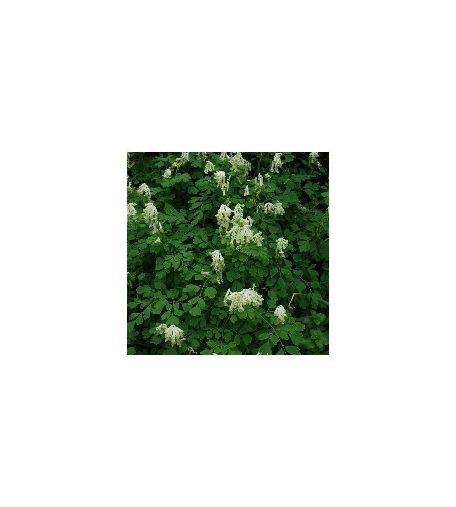 Corydalis ochroleuca / Lærkespore