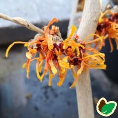 Hamamelis intermedia Aphrodite / Troldnød