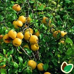 Japankvæde storfrugtet - Chaenomeles japonica Cido