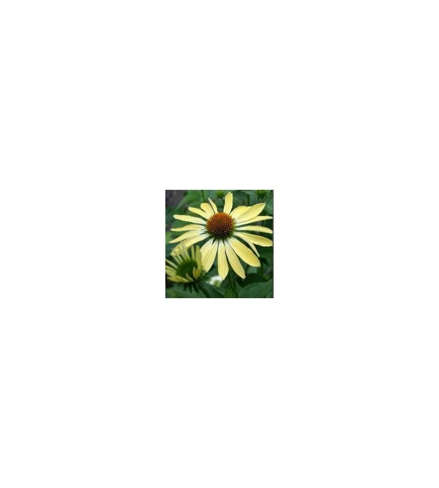 Echinacea purpurea Sunrise / Solhat