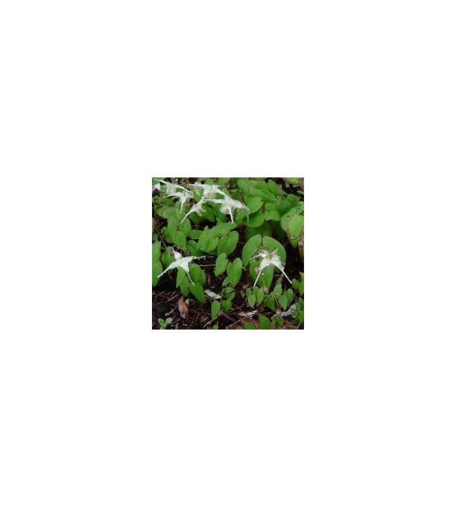 Epimedium grandiflorum / Bispehue