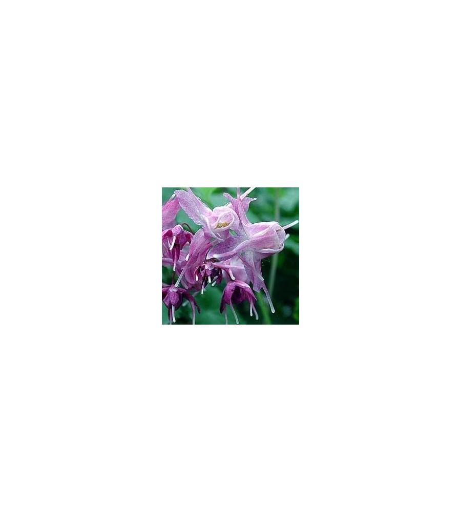 Epimedium grandiflorum Lilafee / Bispehue