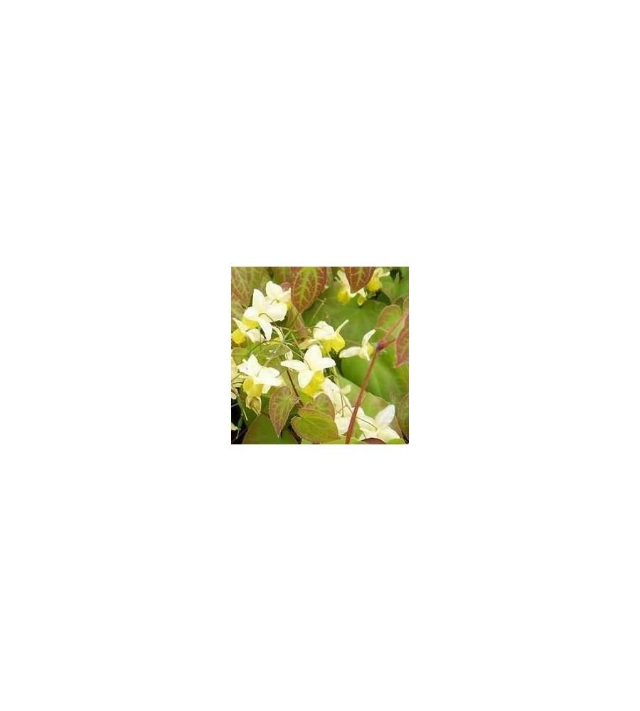 Epimedium versicolor Sulphureum / Bispehue