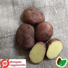 Økologiske Læggekartofler Raja -- 25 Kg.