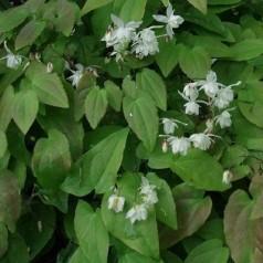 Epimedium youngianum Niveum / Bispehue