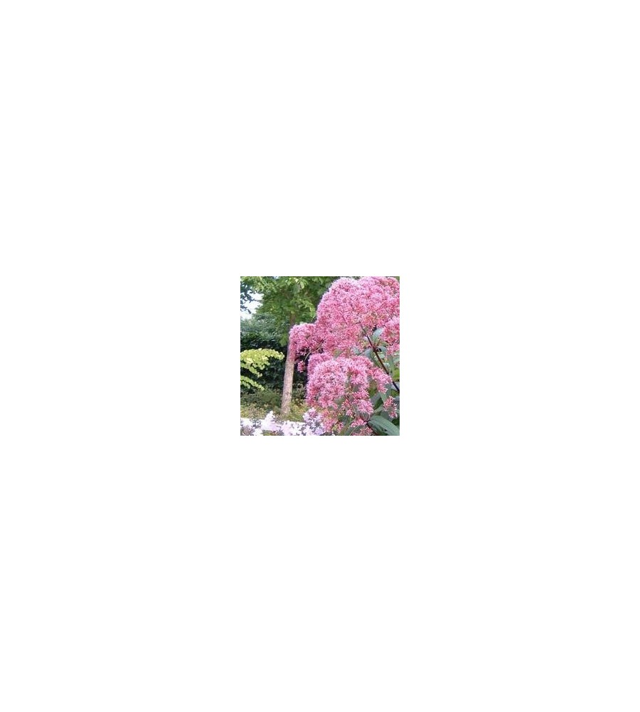 Eupatorium maculatum Atropurpureum / Hjortetrøst