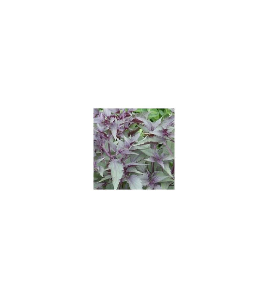 Eupatorium rugosum Chocolate / Hjortetrøst