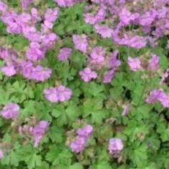Geranium cantabrigiense Cambridge / Storkenæb