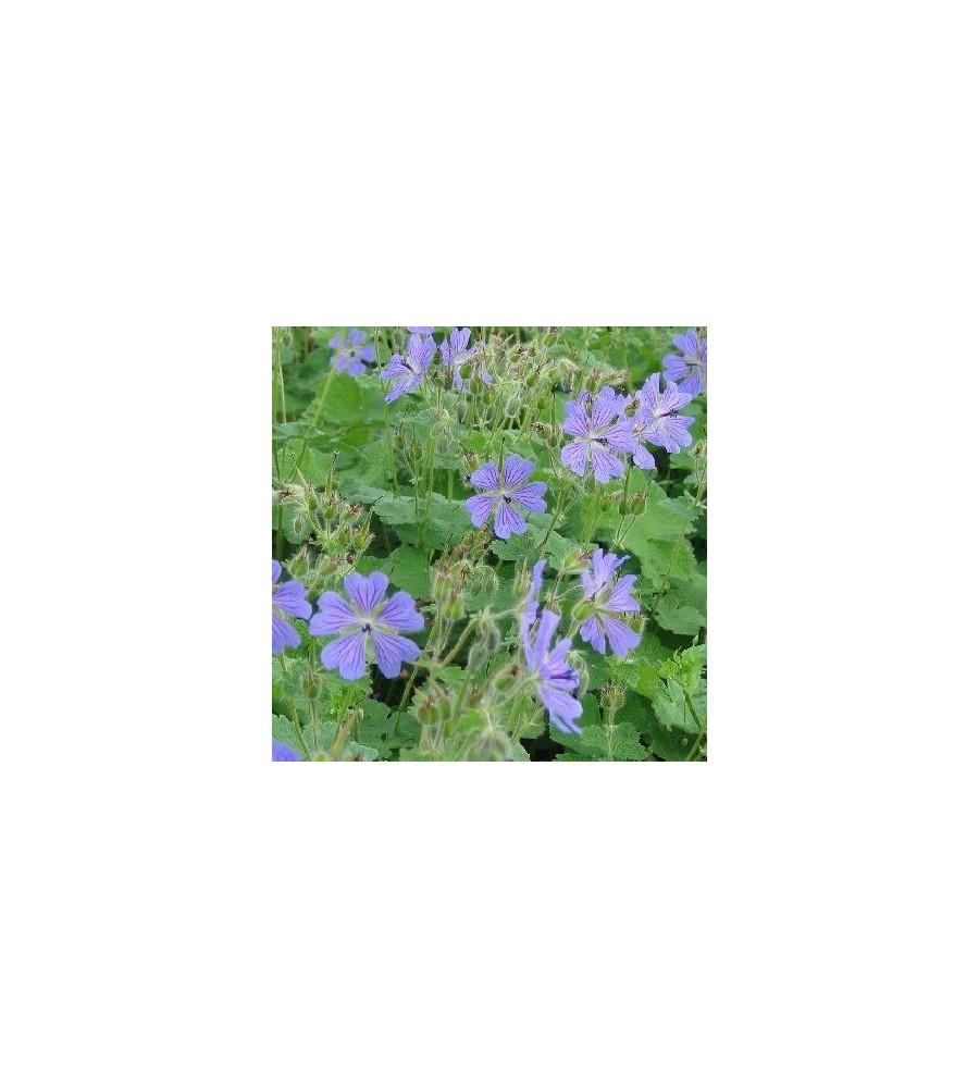 Geranium renardii Philippe Vapelle / Storkenæb