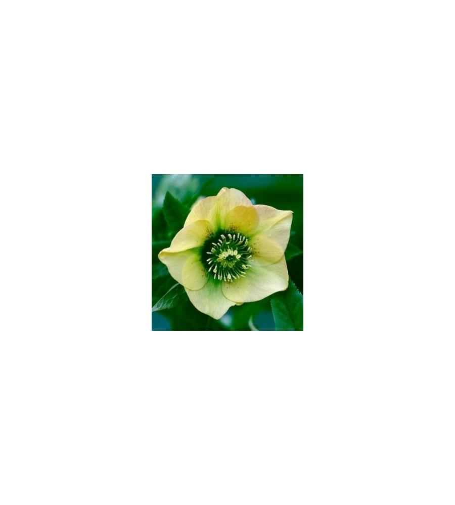 Helleborus hybrid Yellow Lady / Julerose