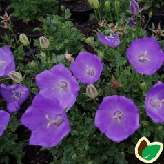 Campanula carpatica Perla Blue / Karpaterklokke