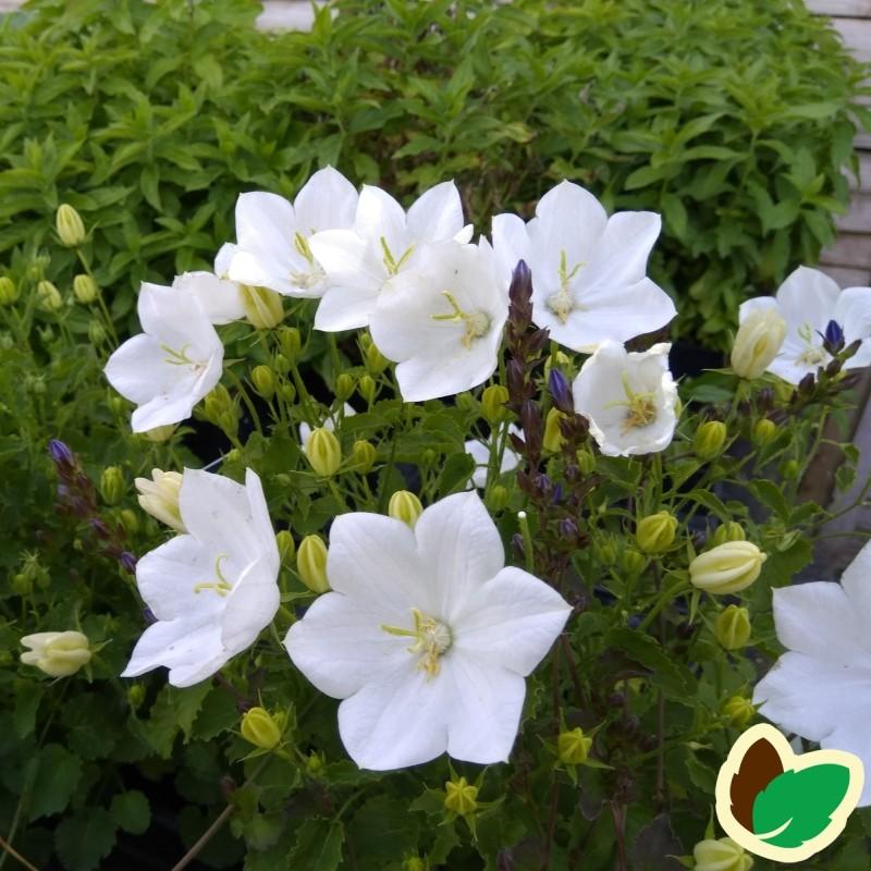 Campanula carpatica Perla White / KarpaterKlokke