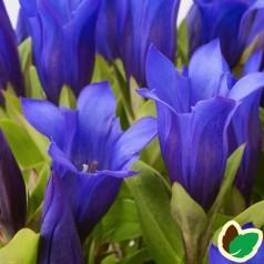 Gentiana hybrid Shine Blue / Ensian