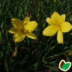 Hemerocallis hybrid Corky / Daglilje