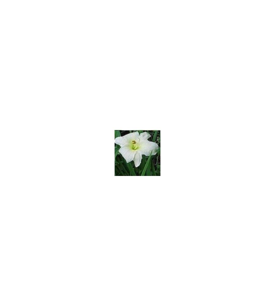 Hemerocallis hybrid Joan Senior / Daglilje