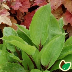 Hosta hybrid Purple Heart / Funkia