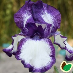 Iris germanica Going My Way / Iris