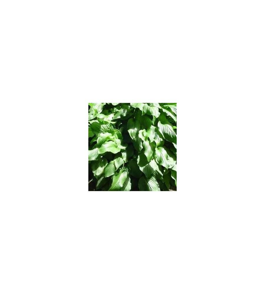 Hosta hybrid Honeybells / Funkia