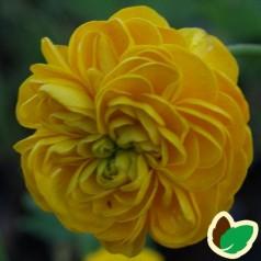 Ranunculus acris Multiplex / Ranunkel