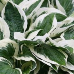 Hosta hybrid Patriot / Funkia