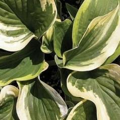 Hosta hybrid Wide Brim / Funkia