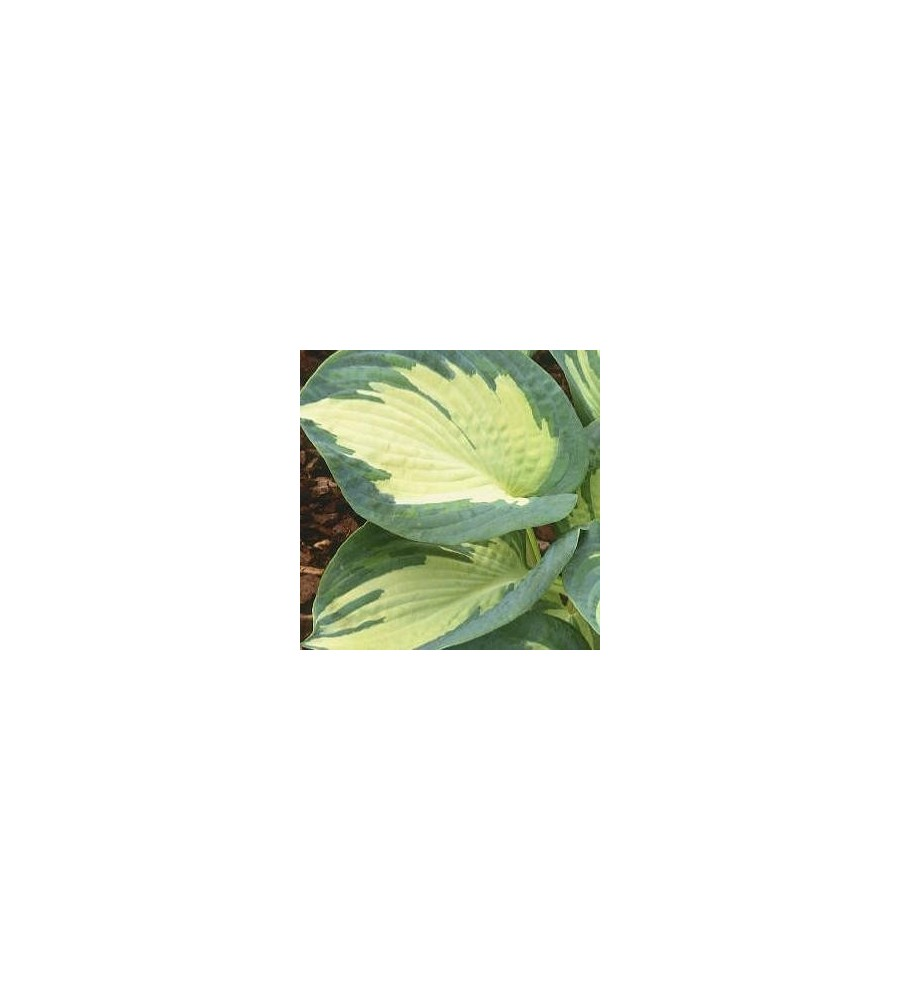 Hosta sieboldiana Great Expectation / Funkia