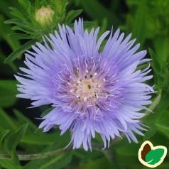 Stokesia laevis Mel's Blue / Stokesia